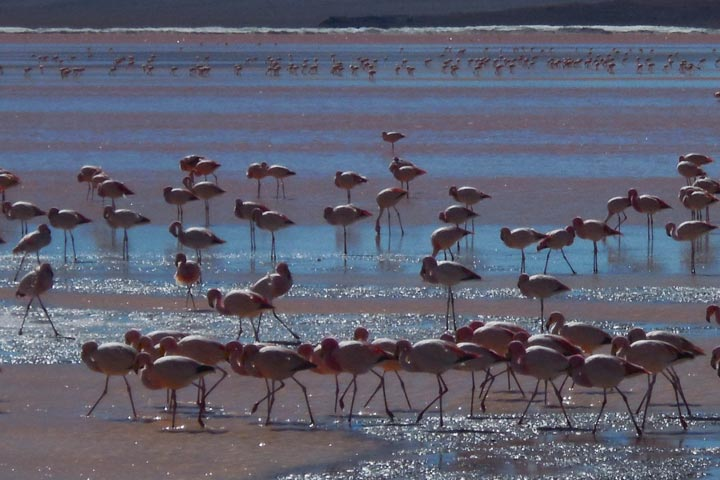Flamands roses Bolivie