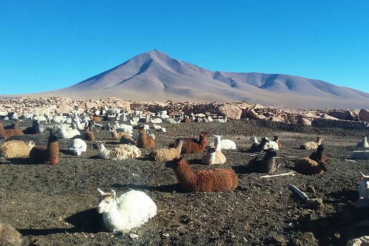 lama Bolivie Sud Lipez