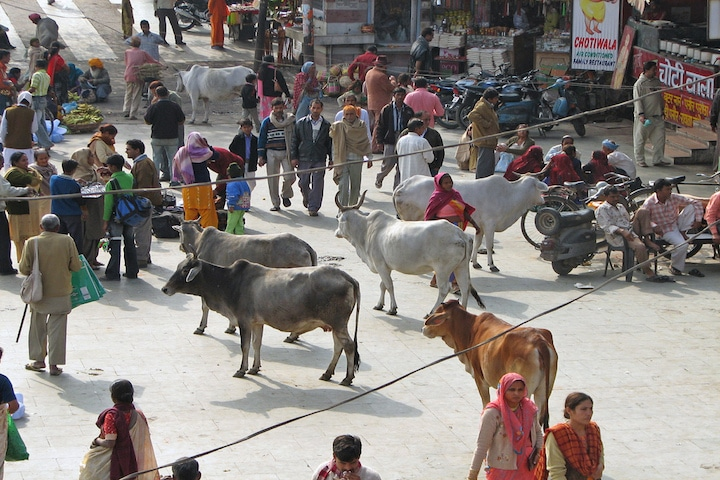 Inde - vaches sacrees