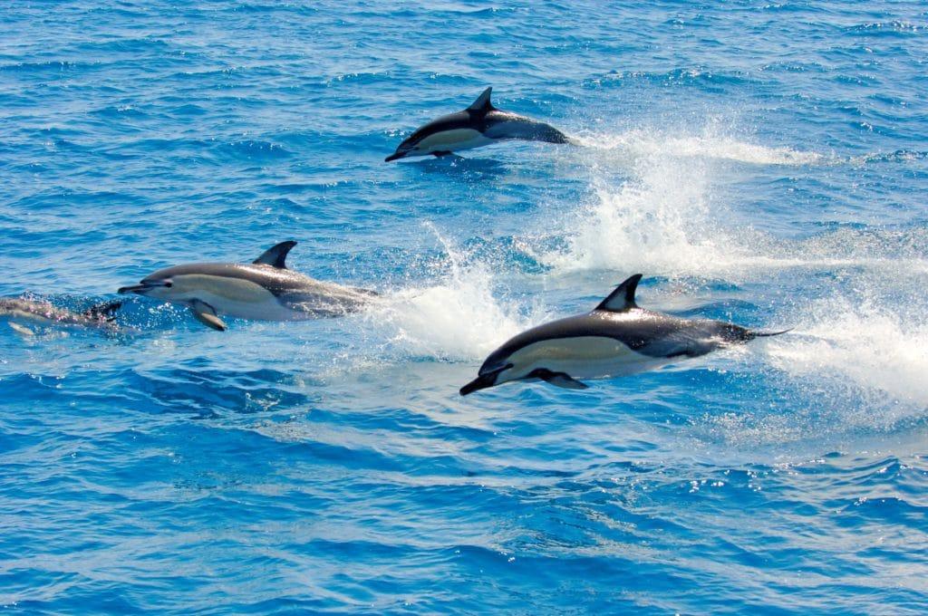 dauphins - kaikoura - nouvelle zelande