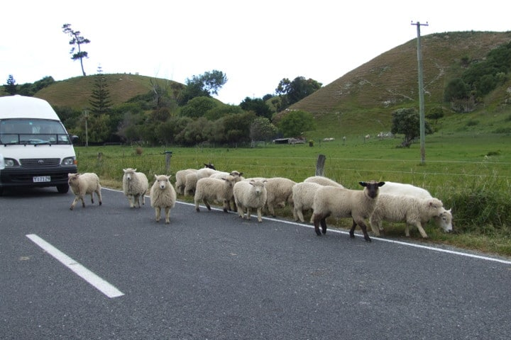 moutons - route - nouvelle-zélande