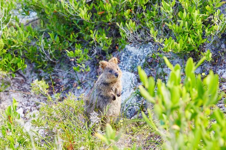 Quokka - Rottnest Island - Western Australia - animaux en australie - nature australie
