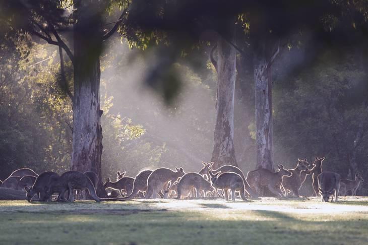 Kangourou - animaux en australie - nature australie
