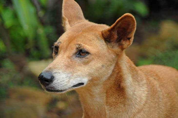 Dingo - Fraser Island - Queensland - animaux en australie - nature australie