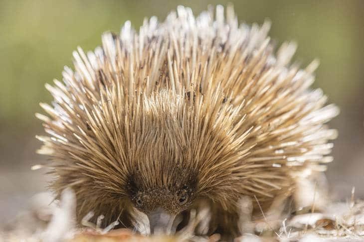 échidné - Australie du Sud - animaux en australie - nature australie - Kangaroo Island
