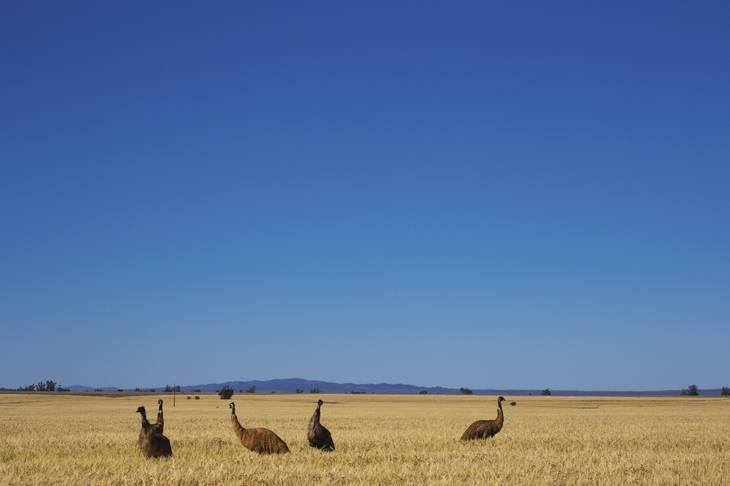 Emeu - Flinders Ranges - Australie du Sud- animaux en australie - nature australie - oiseau d'australie