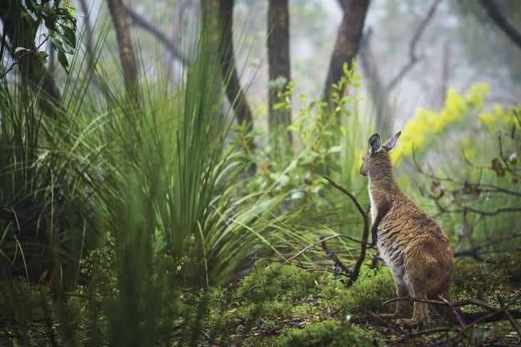 Australie - Kangourou - Garde forestier - PVT en Australie - WHV en Australie - Jobs insolites en PVT