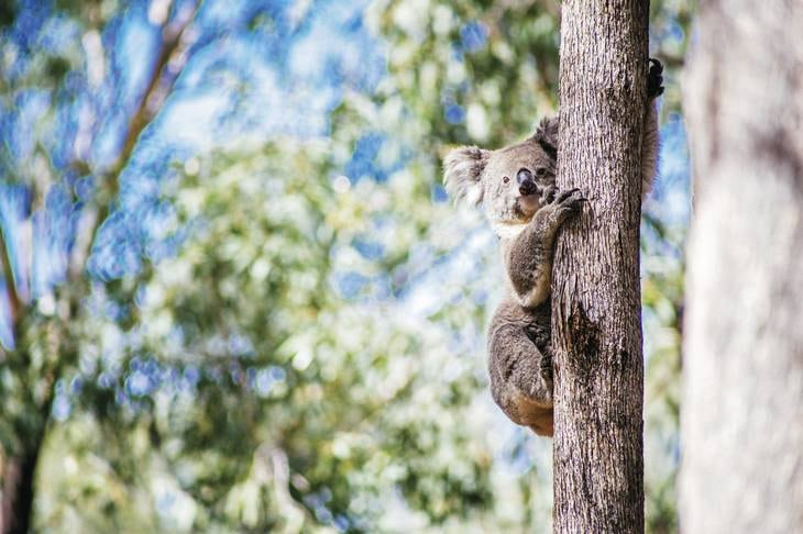 koala - animaux - australie - nature