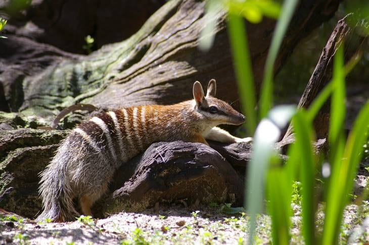 Numbat - Australie Occidentale - Queensland - animaux en australie - nature australie