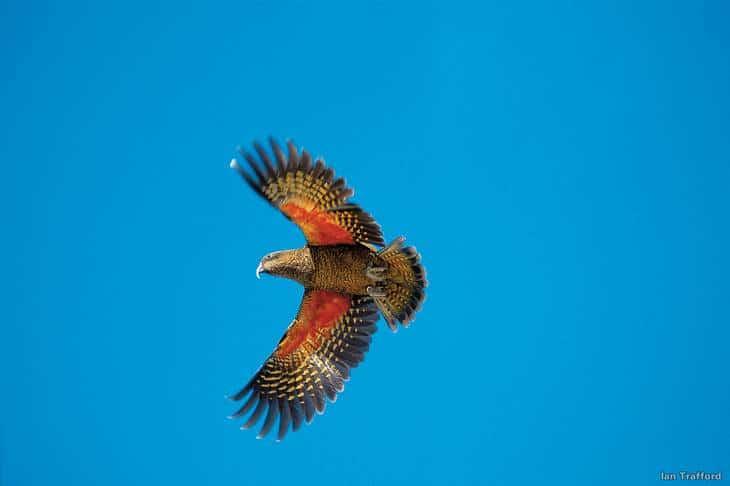 Ou voir les animaux de Nouvelle-Zélande - kea - nature - oiseau