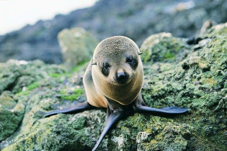 Ou voir les animaux de Nouvelle-Zélande - nature - otarie